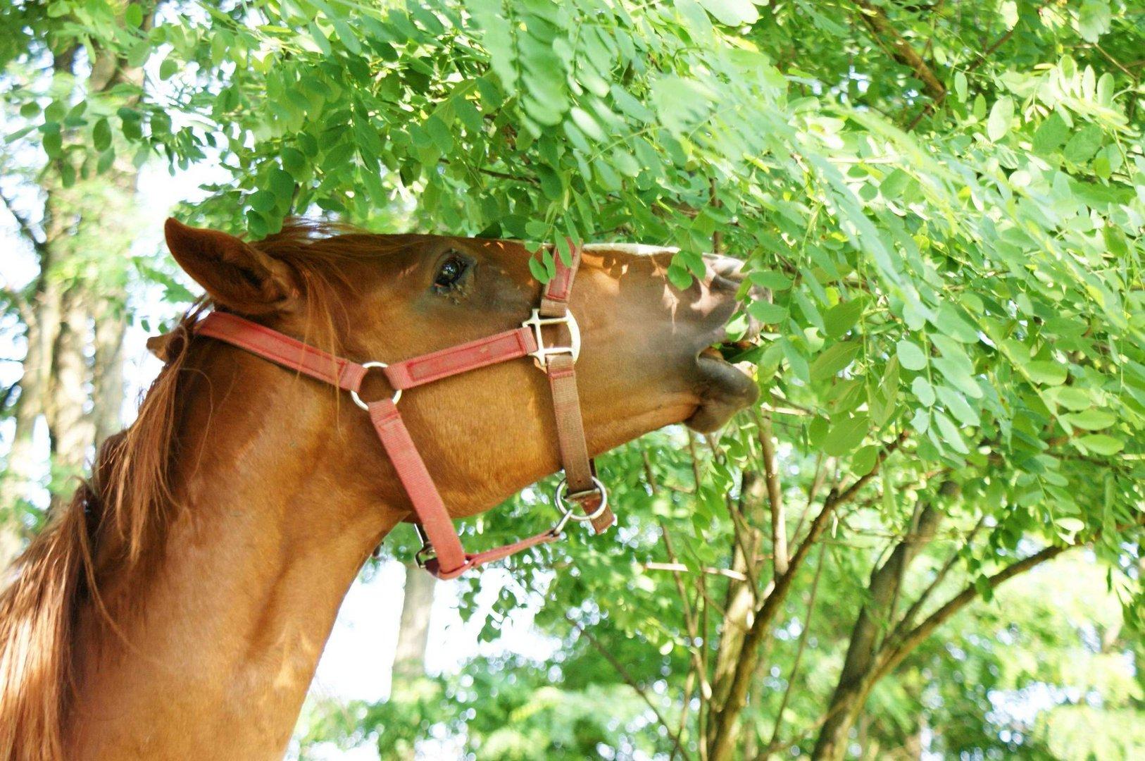Pferde frißt grifte Robinie