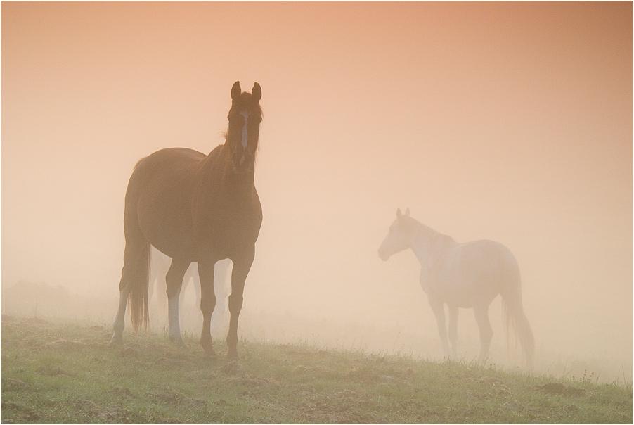 Pferde im Morgennebel ...