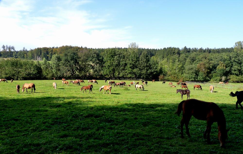 Pferde im Odenwald 1