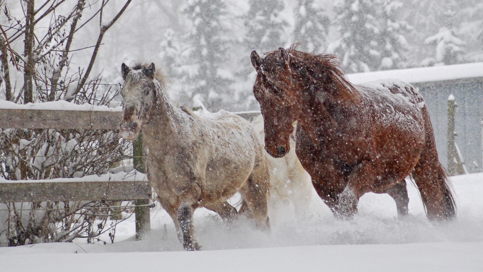 pferde im schnee foto bild jahreszeiten winter natur bilder auf fotocommunity. Black Bedroom Furniture Sets. Home Design Ideas