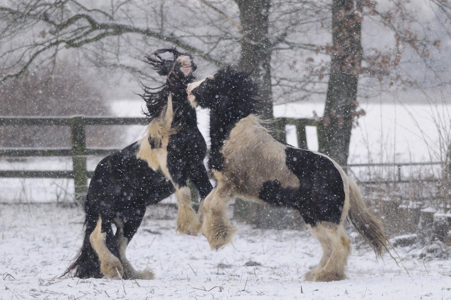 pferde im schnee foto bild tiere haustiere pferde. Black Bedroom Furniture Sets. Home Design Ideas