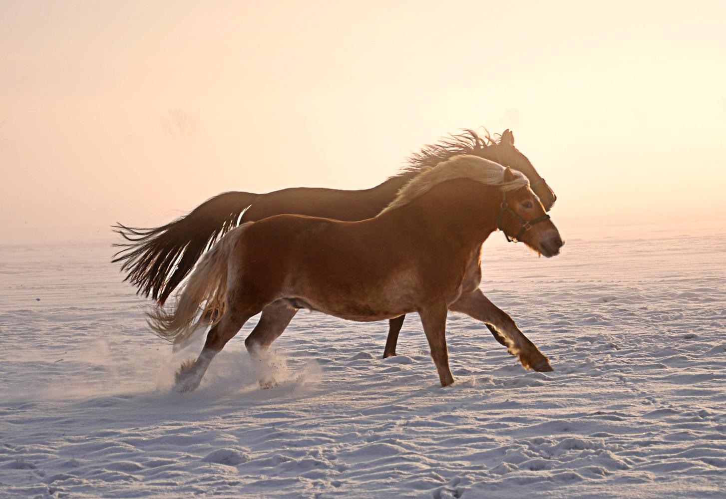 pferde im schnee iv foto bild tiere haustiere pferde esel maultiere bilder auf fotocommunity. Black Bedroom Furniture Sets. Home Design Ideas