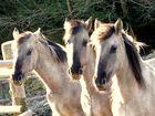 Pferde Im Steinbruch Liekwegen.