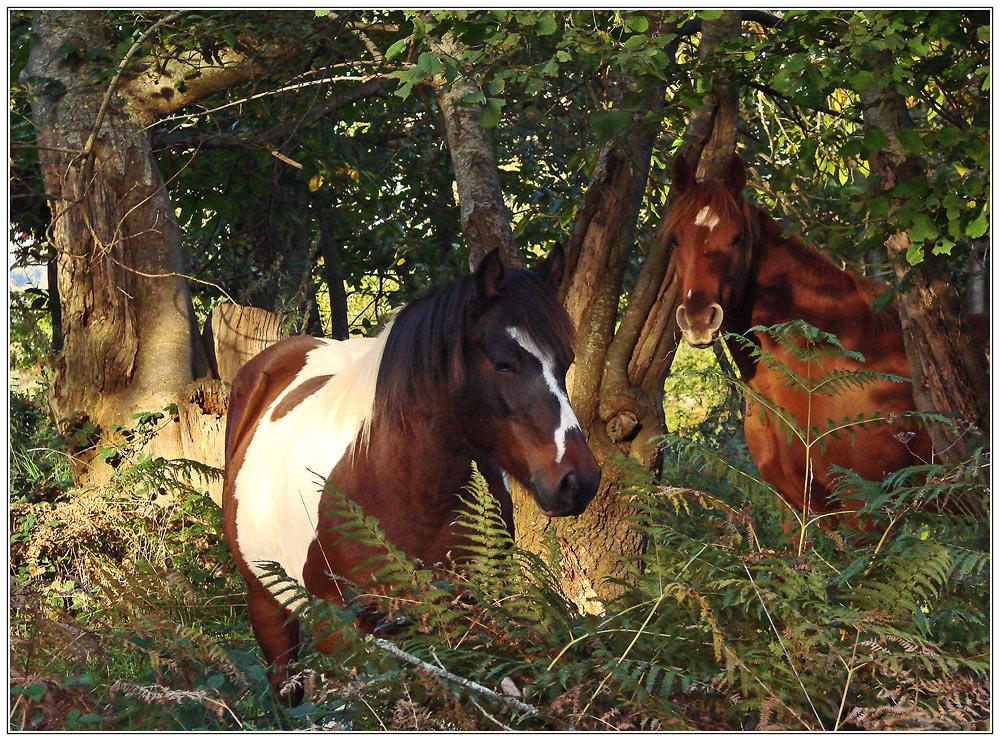 *Pferde in Abendlicht*