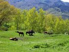 Pferde in den Nebrodibergen