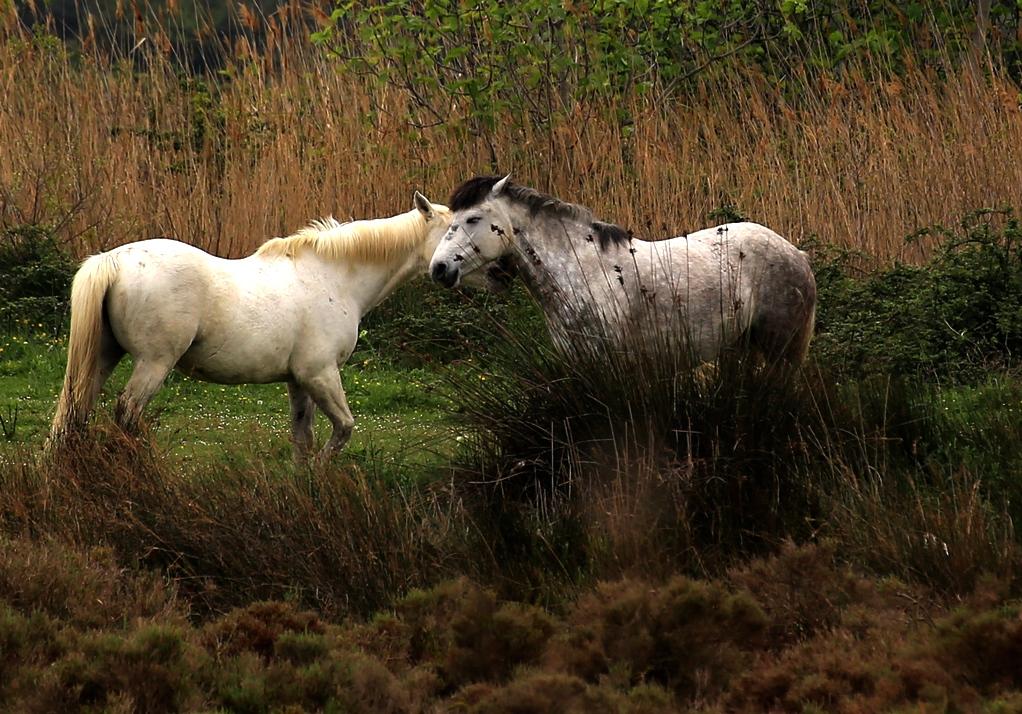 Pferde in der Camargue II