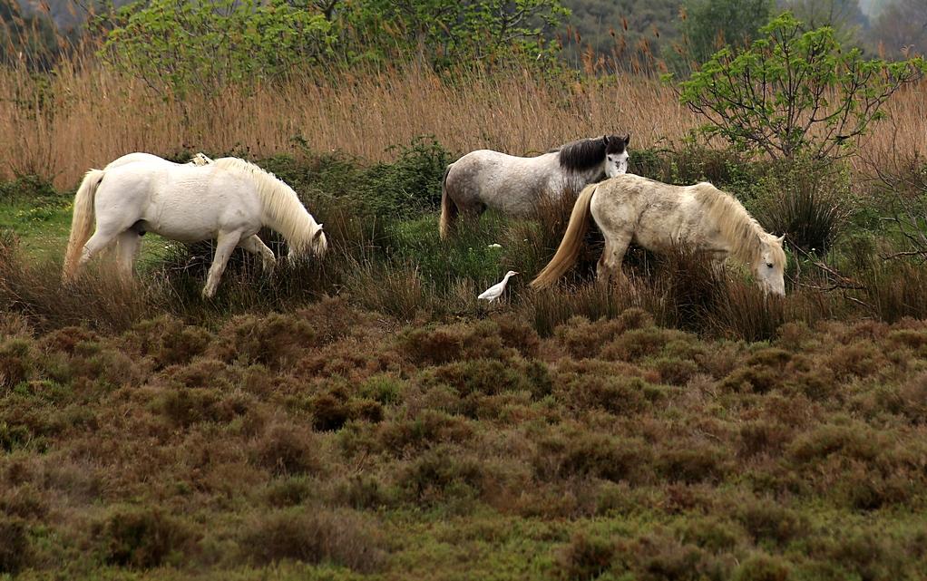Pferde in der Camargue III