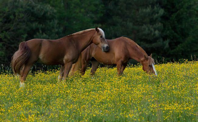 Pferde in der Dämmerung
