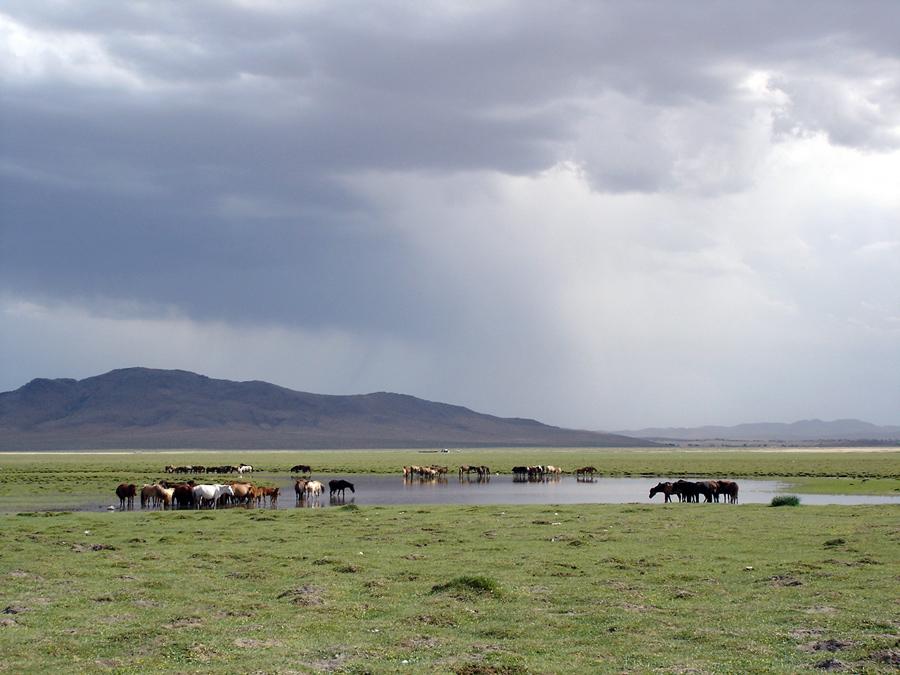 Pferde in der Mongolei