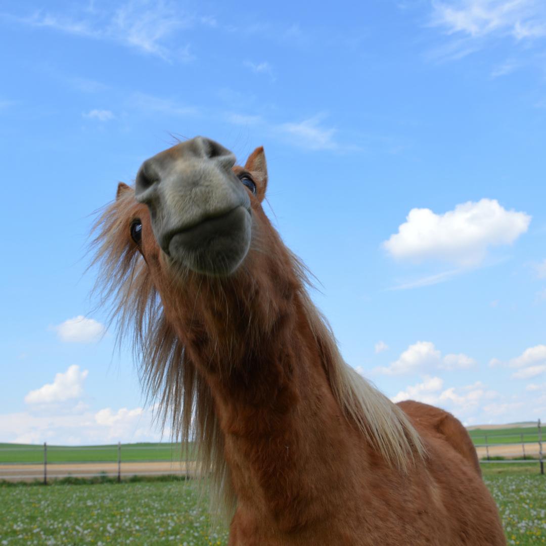 Pferde-Lamma