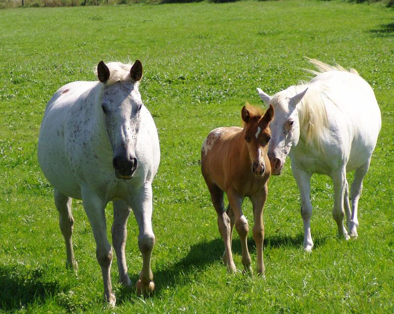 Pferde mit Nachwuchs auf einer Weide