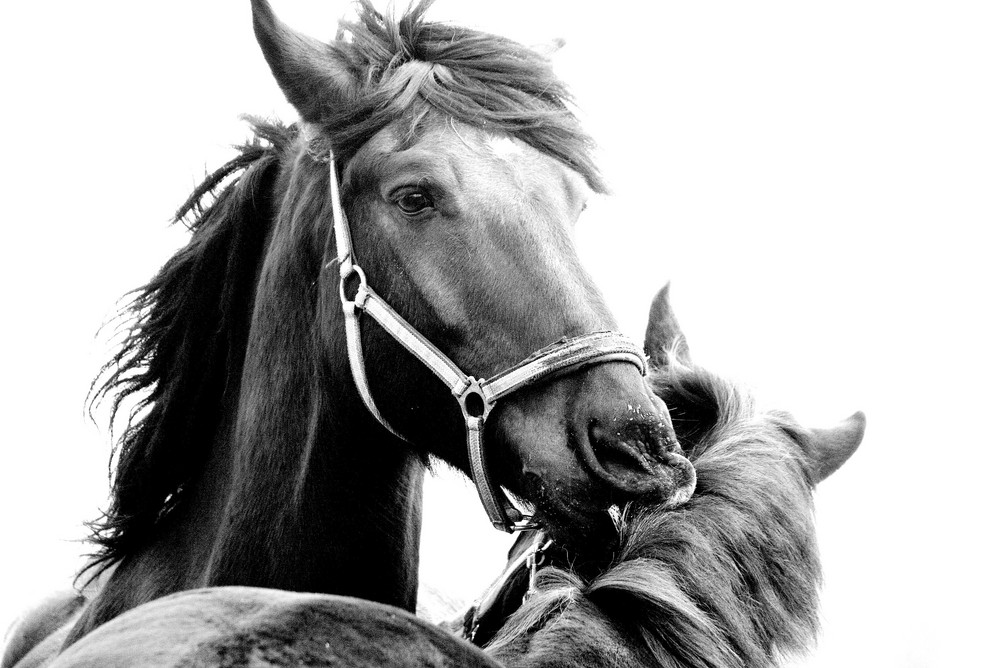 Pferde-Schmusen