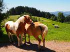 Pferde und Kühe