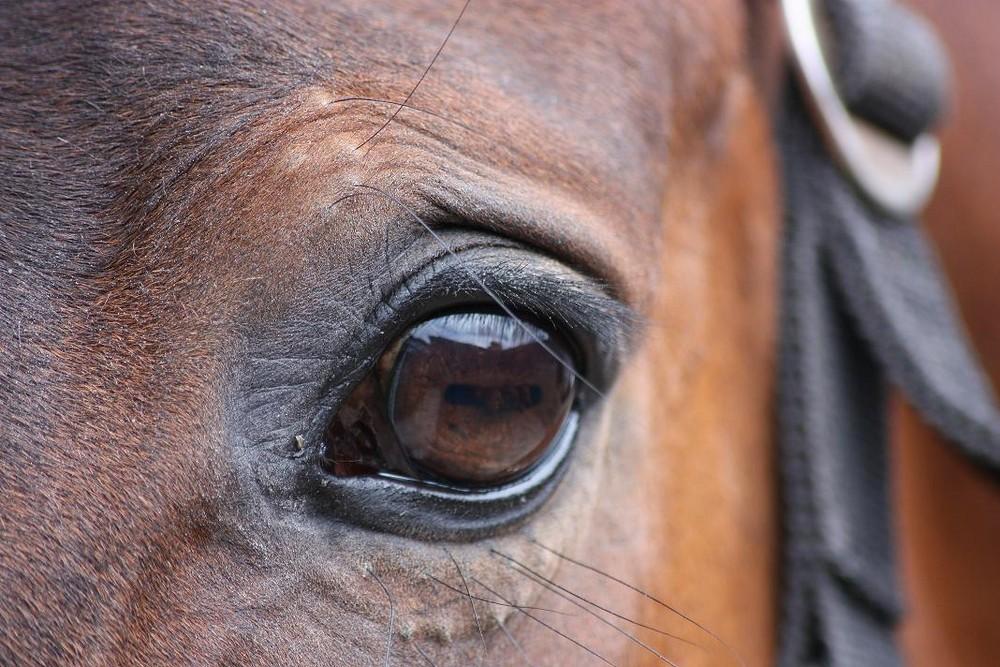 Pferdeauge - Aisha