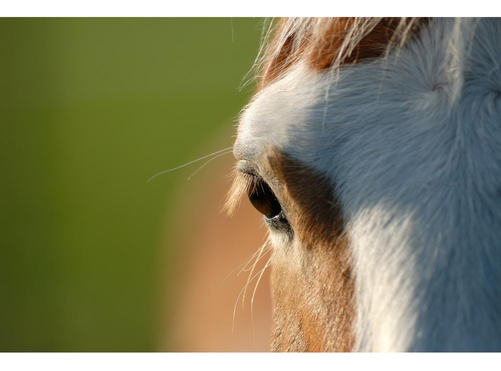 Pferdeauge mittig....