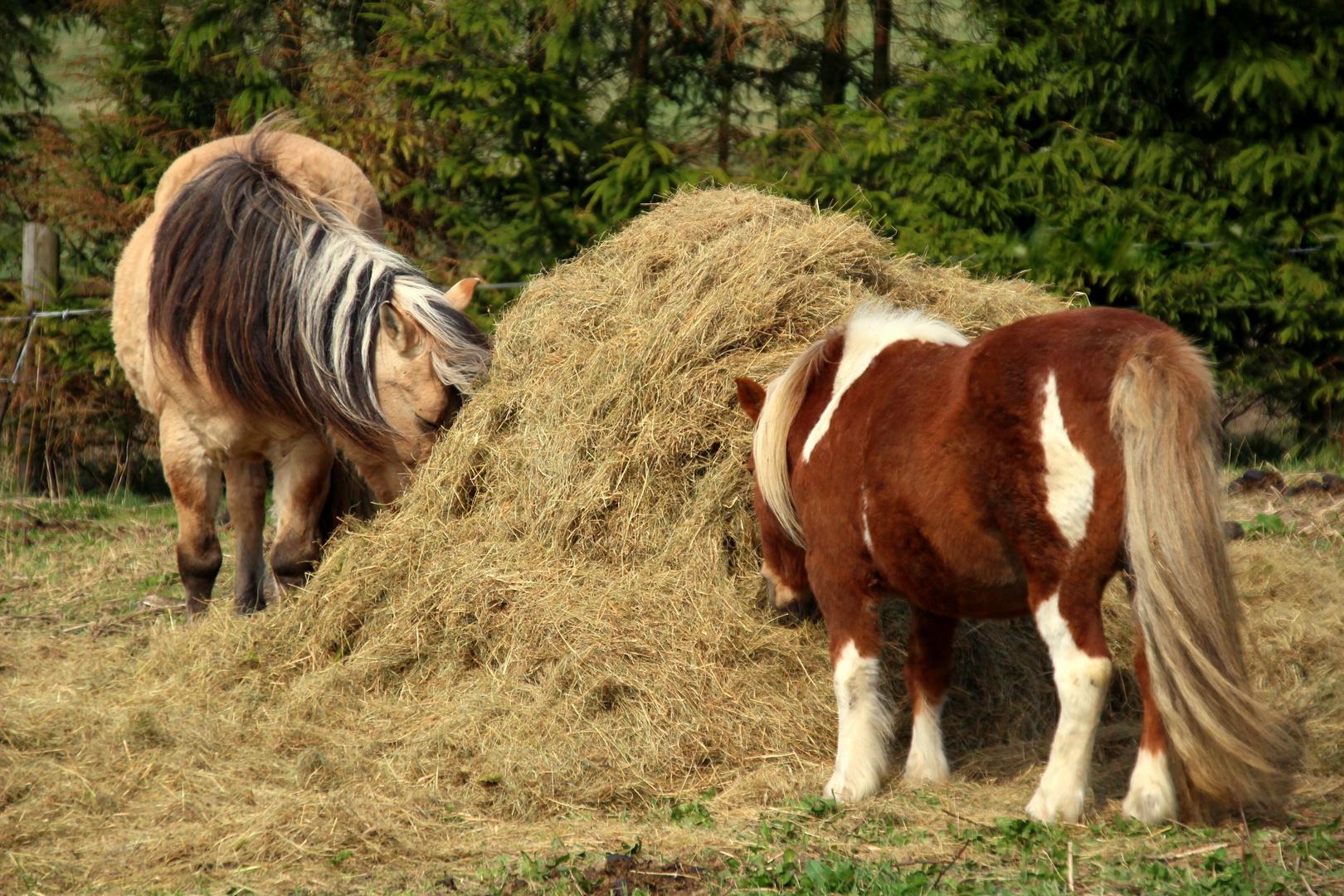 Pferdedoppelporträt