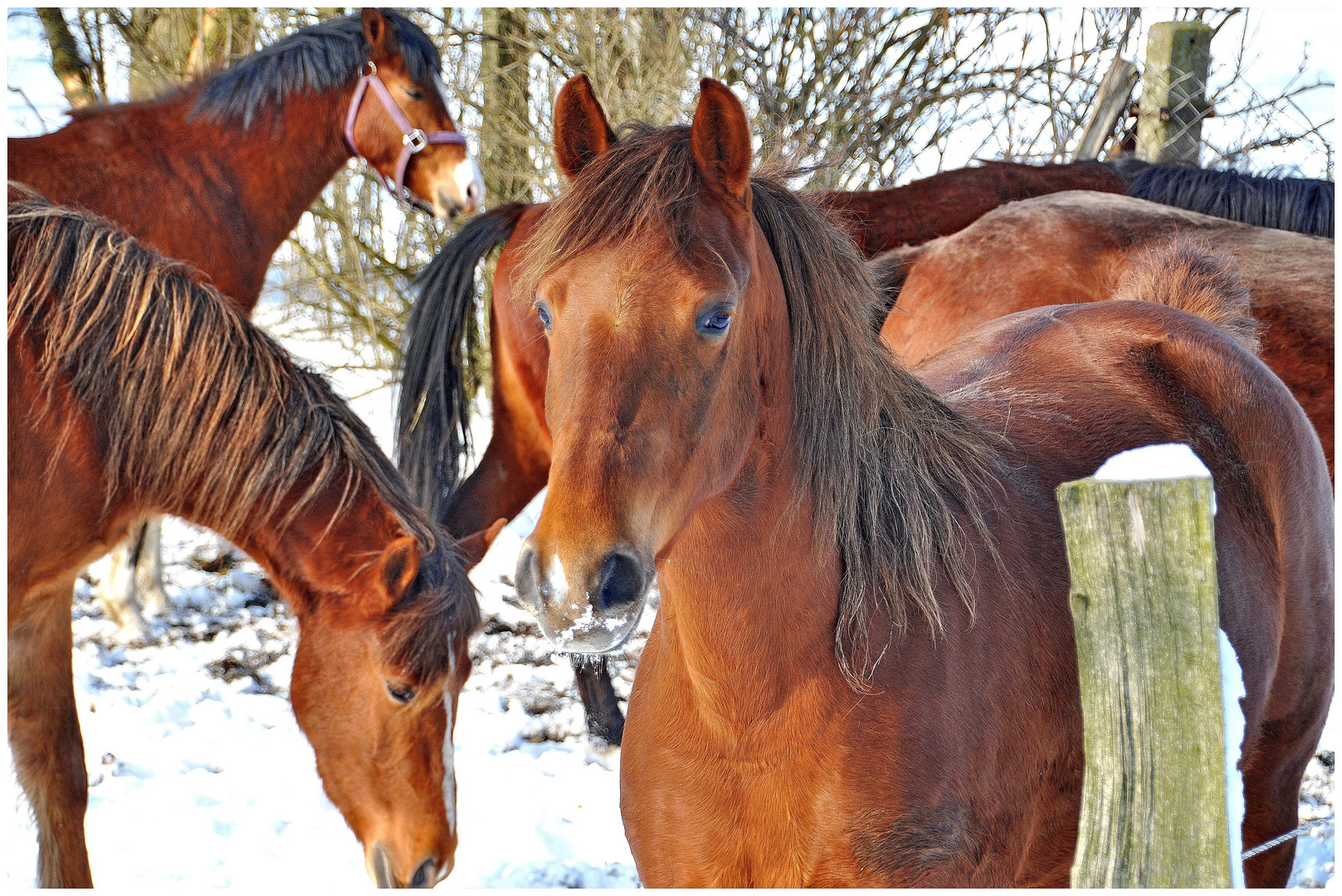 Pferdegruppe im Schnee