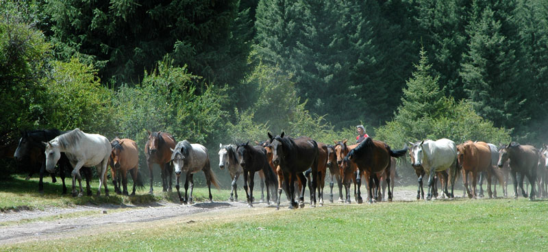 Pferdeherde im Wald in Kirgistan