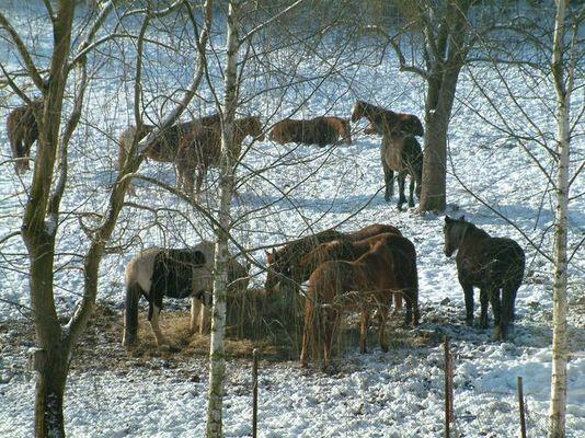 Pferdeherde im Winter