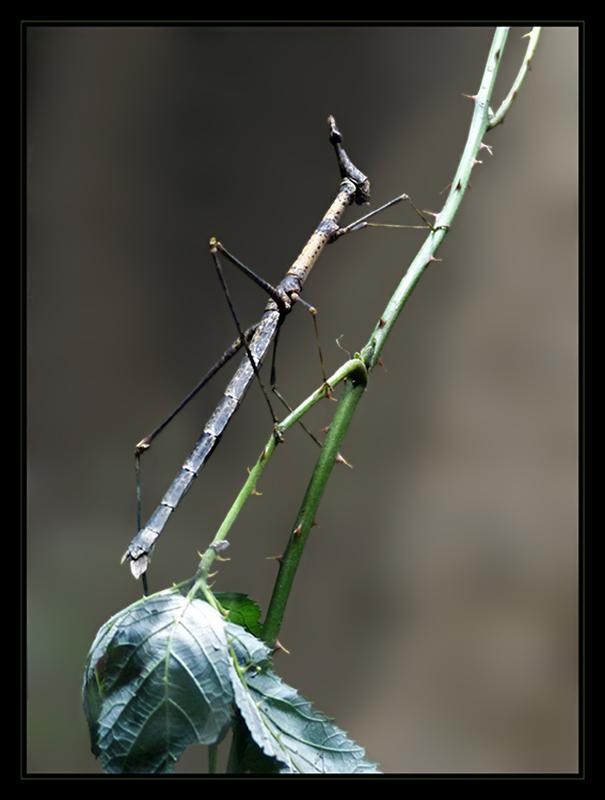 Pferdekopfschrecke - Pseudoproscopia latirostris