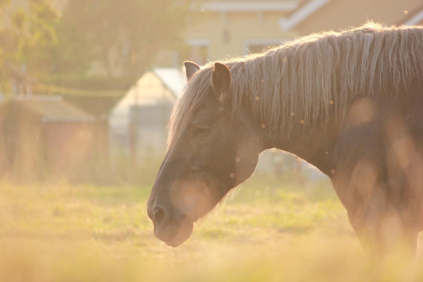 Pferdekoppel beim Sonnenuntergang