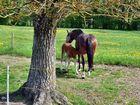 Pferdemutter mit Fohlen