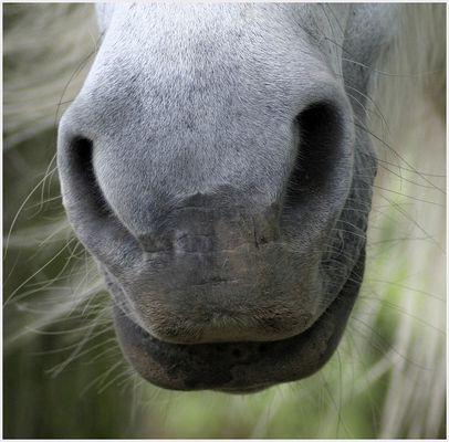 Pferdenüster