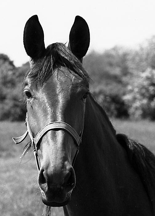 Pferdeportait