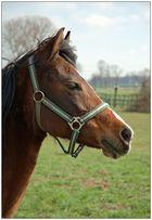 Pferdeportrait (D70 + DRI + Anleitung zum Selbermachen)