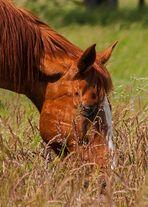 Pferderl beim Futtern