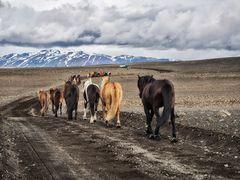 Pferdetrieb auf Island