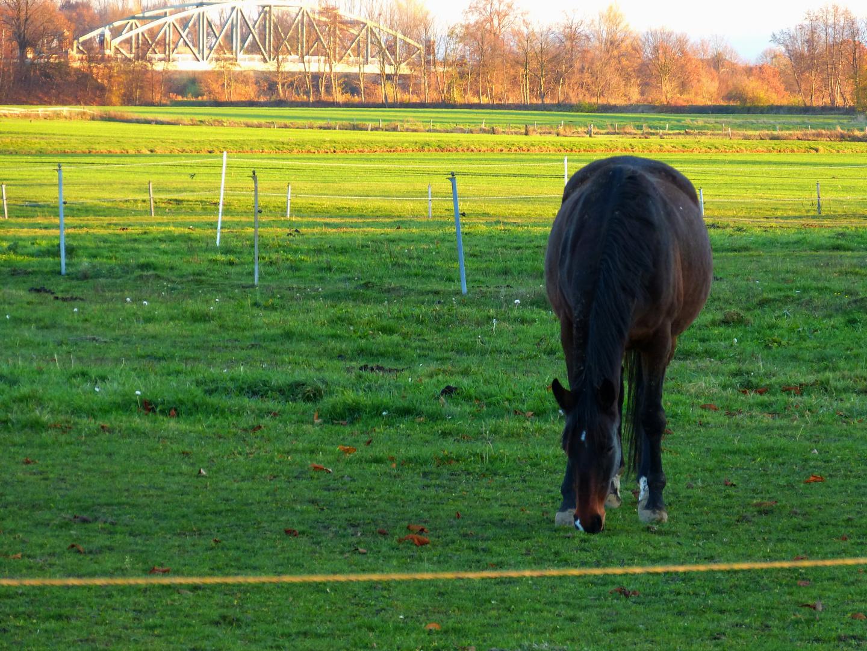 Pferdeweiden am Mittellandkanal
