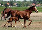 Pferdezucht in Nordholland