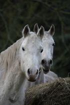 Pferdezwillinge