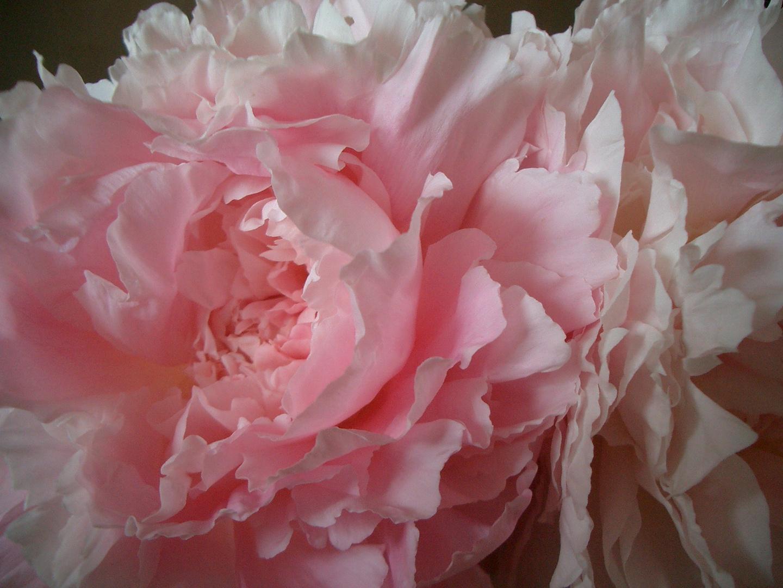 Pfingst-Rose