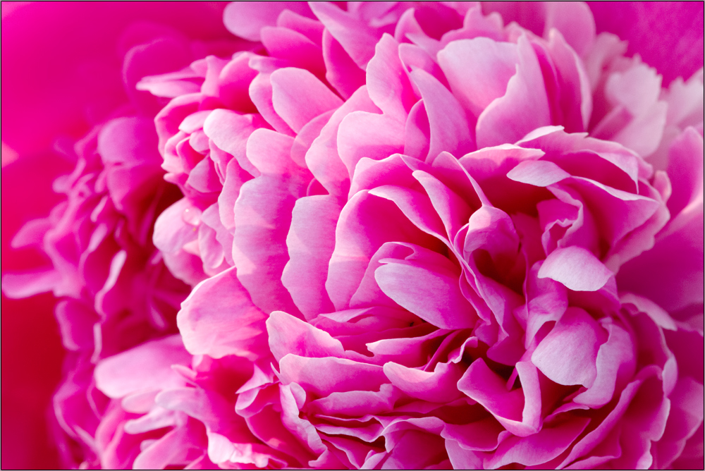 pfingstrose foto bild pflanzen pilze flechten bl ten kleinpflanzen rosen bilder auf. Black Bedroom Furniture Sets. Home Design Ideas