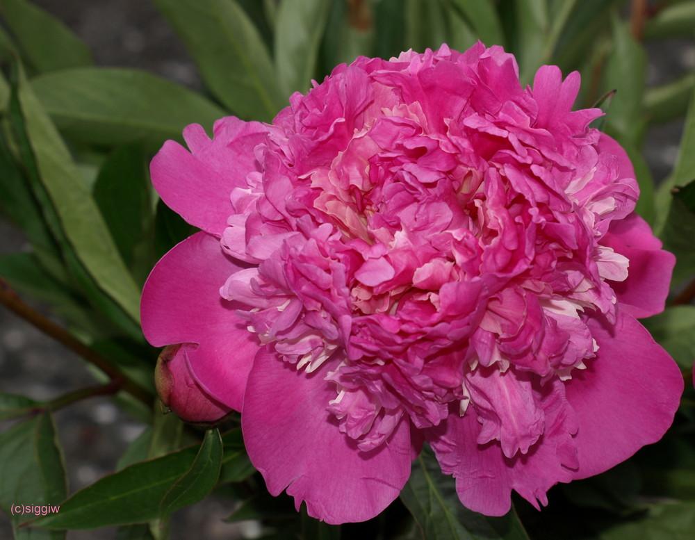 Pfingstrose in pink