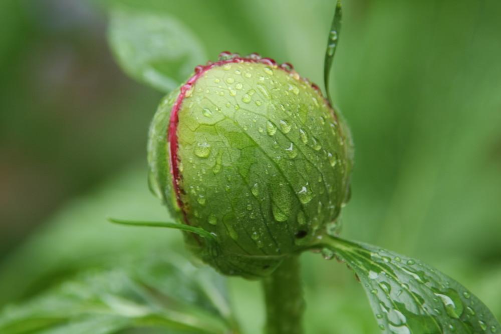 Pfingstrose nach Regen