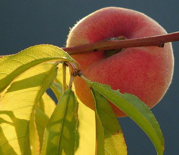 Pfirsich im Morgenlicht