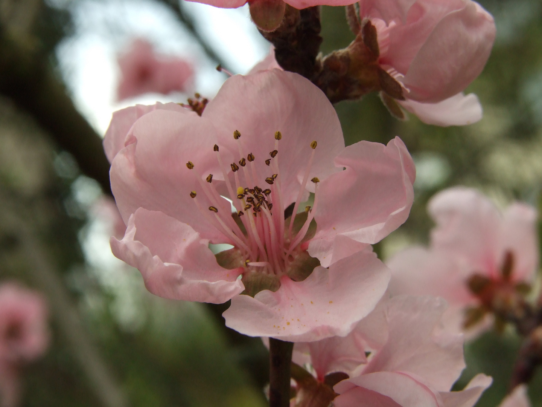 Pfirsichbaumblüte