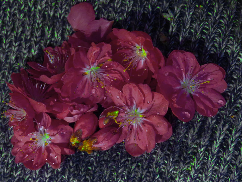 Pfirsichbaumblüten - Familie..