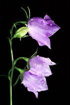 Pfirsichblättrige Glockenblume - Campanula persicifola