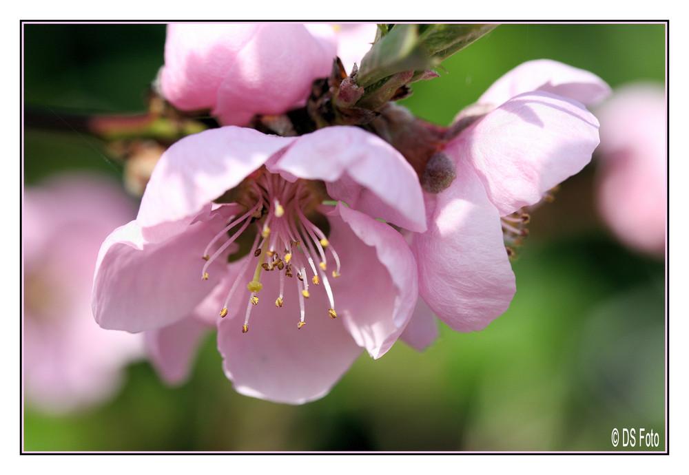Pfirsichblüte?