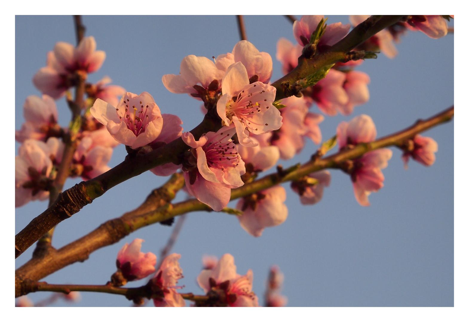 Pfirsichblüte im Marchfeld