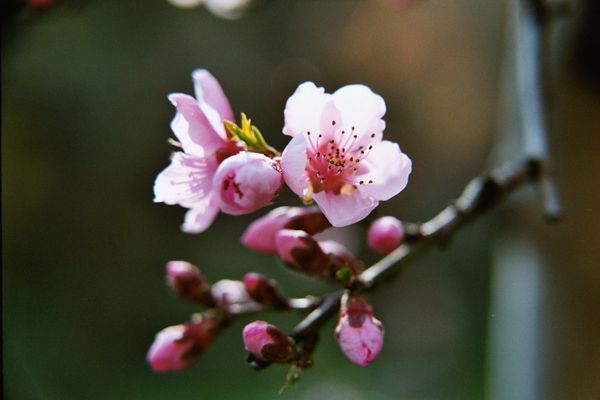 Pfirsichblüte.3