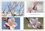 Pfirsichblüten.....