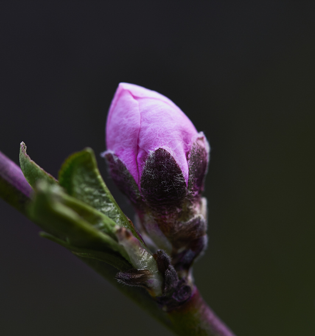 Pfirsichblütenknospenshooting