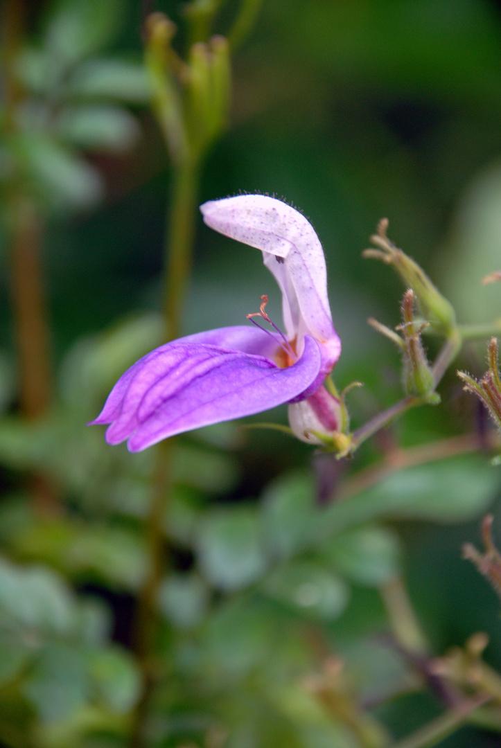 Pflanze aus dem Botanischen Garten Jena