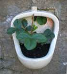 Pflanze bekam nur natürlichen Dünger !
