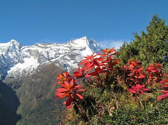 Pflanze im Himalaya